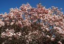 Tips on Magnolia Tree Care