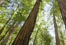 Yellow Disease in Redwood Trees