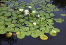 How to Kill Waterlilies