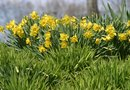 Daffodil Bulb Planting Instructions