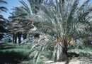How to Plant Canary Island Date Palms
