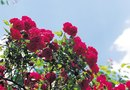 The Best Time to Prune Rose Bushes