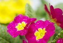 Types of Primulas