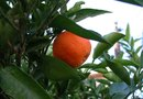What Is a Homemade Organic Pest Repellent for Orange Trees?