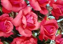 The Best Time to Plant Knock Out Roses