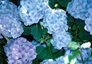 How to Bury Rusty Nails in Soil Around Hydrangea Plants
