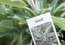 White Spots on the Leaves of Sage Herbs