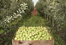 How to Run Rows of Apple Trees