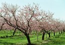 How to Tell the Difference Between Peach & Almond Trees