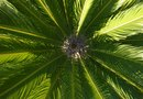 How to Dig Up a Sago Palm