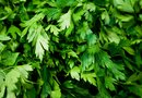 How to Trim Parsley