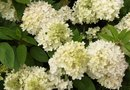 Fertilizing Snowball Viburnum
