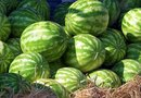 How to Graft Watermelons