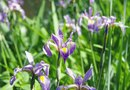 How to Harvest Iris Seedpods