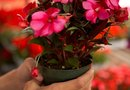 Spots on New Guinea Impatiens