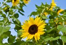 Sunflower Companion Planting With Grapes