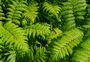 Varieties of Fern Plants