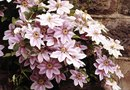 How to Get a Clematis to Grow More Than One Stem