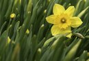 Cutting Daffodil Foliage to 6 Inches
