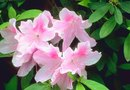 How to Get Rid of Aphids on My Azaleas