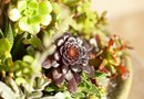 Leaves Are Falling Off on My Aeonium Zwartkop