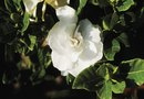 How to Force Gardenia to Bloom