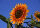 Information About the Autumn Beauty Sunflower Plant