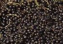 How to Grow Black Elderberry by Seed Indoors