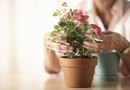 How to Repot Store-Bought Roses