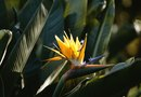 How to Keep a Bird of Paradise Plant Alive
