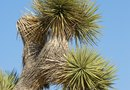 What Type of Root System Do Yucca Plants Have?
