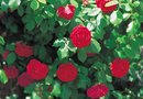 How to Mulch a Rose Bush
