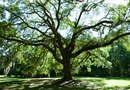 How to Replace an Oak Tree