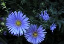 How to Grow Aster From Seed