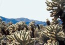 Types of Cholla Cacti