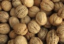English Walnut Tree Information