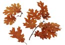 What Is the Difference Between Sweetgums & Oak Trees?