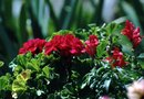 How to Trim Geraniums