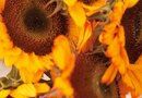 Different Colors of Sunflowers