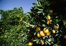 How to Space Citrus Trees in an Orchard