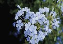 Uses for Cape Plumbago