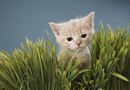 Cat Grass Growth