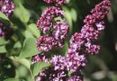 When to Prune Dead Lilac Flowers