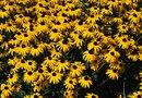 Problems With Rudbeckia