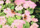 How Does Autumn Joy Sedum Reproduce?