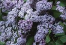 Different Varieties of Lilac