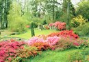 The Types of Encore Azaleas