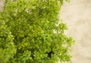 Is a Maidenhair Fern Toxic to Cats?