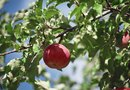How to Reduce the Weight of an Apple Plant