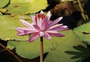 How to Start Lily Pads in Your Pond